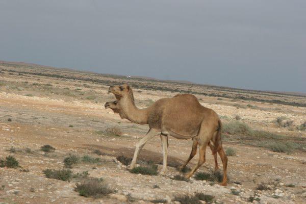 Pierwsze kamele.
