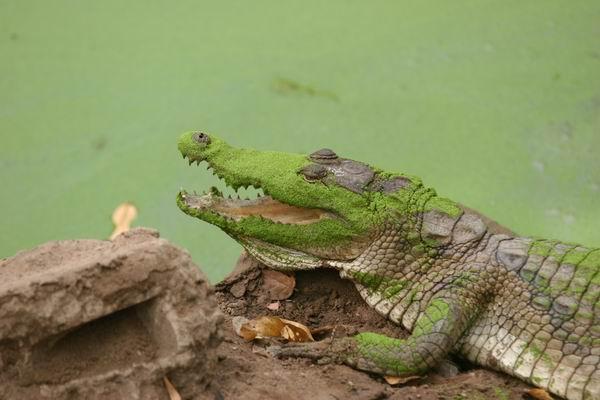 Bakau - basen krokodyli.
