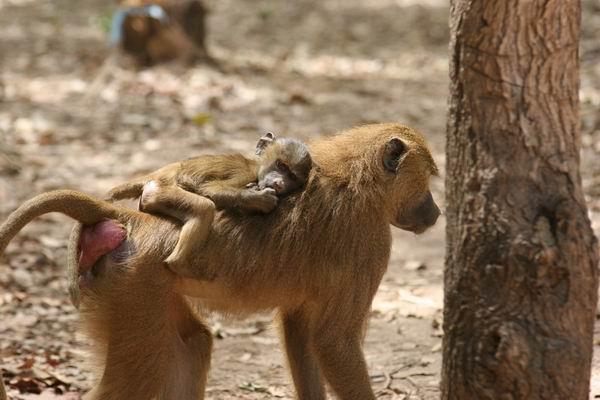 Makasutu - małpia rodzinka.